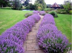 Garden-path-lavender